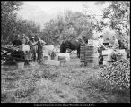 [Harvest time at a campus apple orchard, 1938]