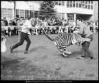[Tiger wrestling during Homecoming, 1968]