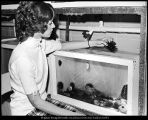 [A secretary in the Zoology Department examines a sea urchin from one of the marine animal tanks,...