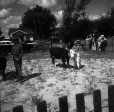 4-H Livestock at the Clark Co. Fair