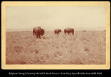 [Three buffalo on the prairie]