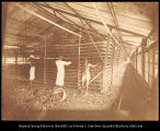 Ceylon.  Manufacture of Tea.  'The Withering Loft' in a tea factory, #248