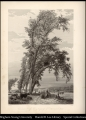 009 Council Bluffs Ferry & group of Cottonwood trees