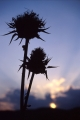 Silouetted Thistles, Galilee