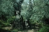 Ancient Olive Tree in Gethsemane