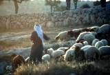Shepherding in Shepherd's Fields